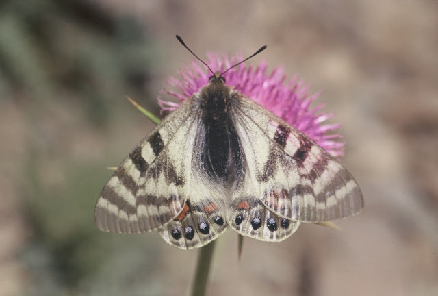 Parnassius (Kailasius) charltonius deckerti VERITY, 1907, mâle. Pakistan, Shandur Pass, 4100 m, 2/3 août 1997. Photo : J.-F. Charmeux