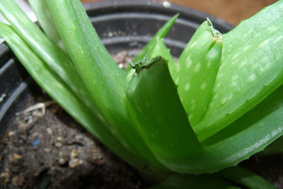 Picture of my aloe vera plant scars