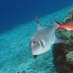 Ocean triggerfish (Eden beach)