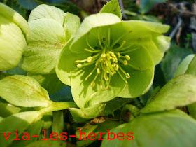 Euphorbe à feuilles d'amandier, Euphorbia amygdaloides 1.jpg