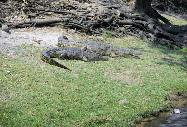 Crocs on Chobe River ride