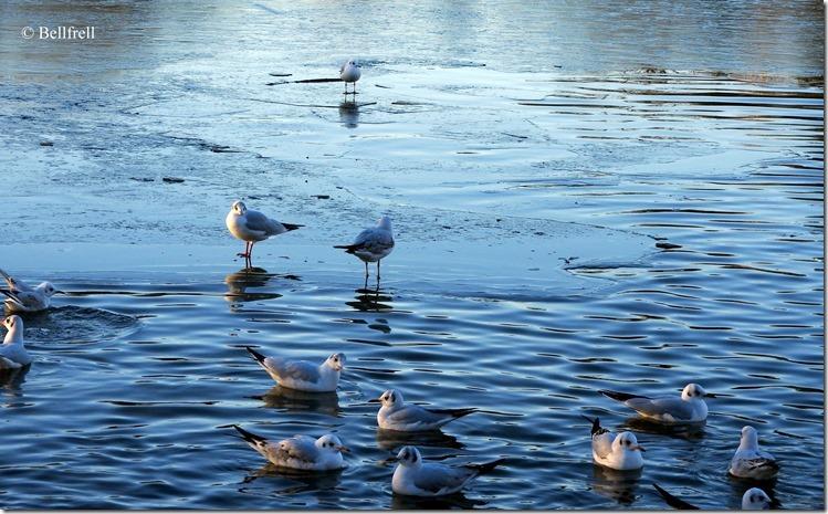Gans Ente und Möwen (1)