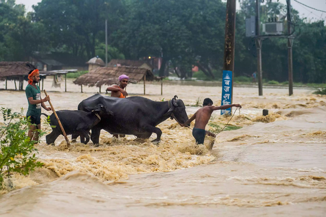 Young men move their buffaloes through rushing floodwaters in Birgunj, Parsa district, south of Kathmandu, 16 August 2017.  Families have been climbing into trees to escape the rapidly rising water. Photo: The Guardian