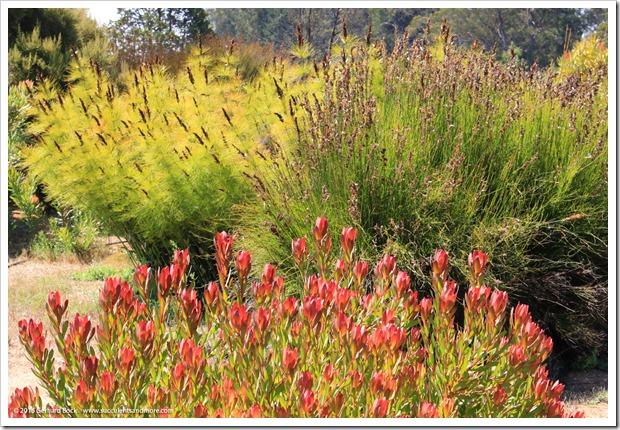 160813_UCSC_Arboretum_Elegia-capensis- -Leucadendron-Wilsons-Wonder_002
