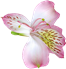 Pink_Transparent_Lily_Flower_PNG_Clipart