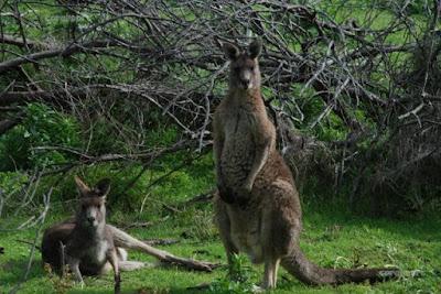 Canguro en la Tower Hill Reserve