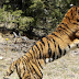 6 people have lost their lives in a tiger attack in a span of 2 months