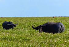2 buffalo bulls feeding. The one on the right is very big.