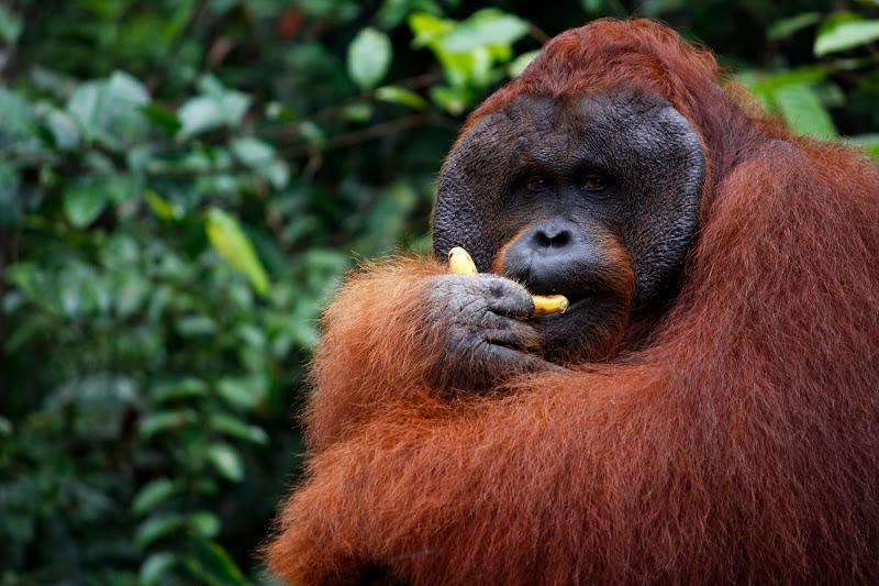 Orangután macho comiendo