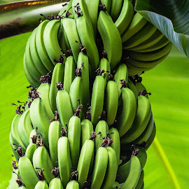 Banana Plant by Dave Lipchen - Food & Drink Fruits & Vegetables ( banana plant )