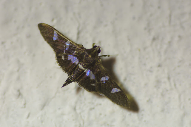 Crambinae : Pyraustini : Desmia sp. Cupiagua, 620 m (Casanare, Colombie), 4 novembre 2015. Photo : J.-M. Gayman