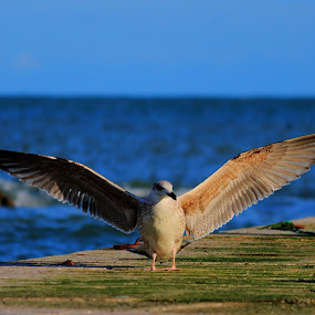 Landed by Quel Mirhan - Animals Birds ( bird, seagull, wings, harbour, seascape )