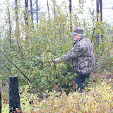Claude thrashing an alder bush as a bull Moose would do. The sound can attract Moose.