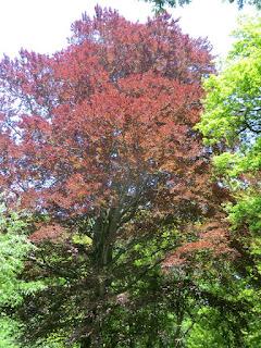 CIMG6929 Copper beech, Banstead Wood