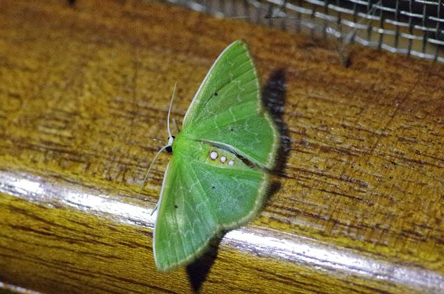 Synchlora irregularia (Barnes & McDunnough, 1918). Santa Fe (Veraguas, Panamá), 18 octobre 2014. Photo : J.-M. Gayman