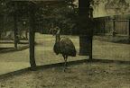 Emu a budapesti állatkertben, 1895 (Fotó: OSZK)