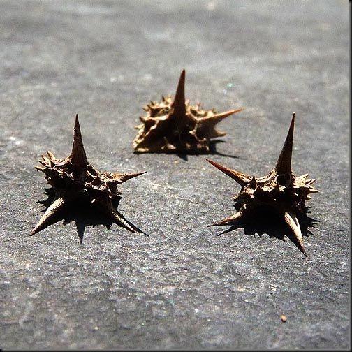 goat_head_thorns