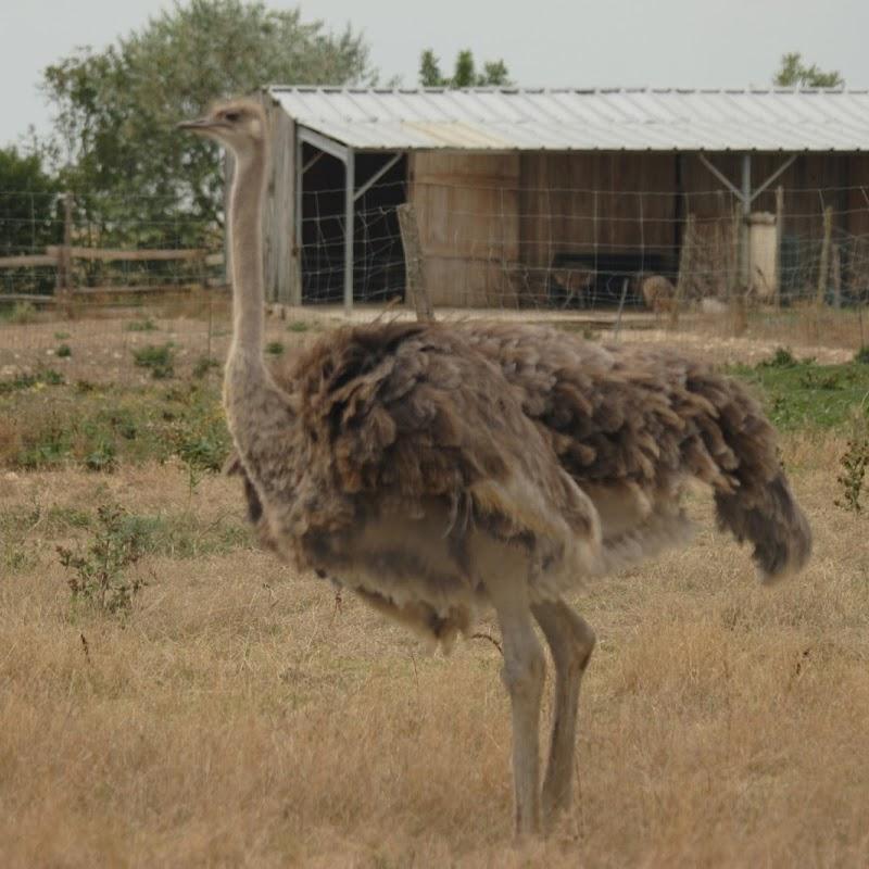 Ostrich_05.jpg