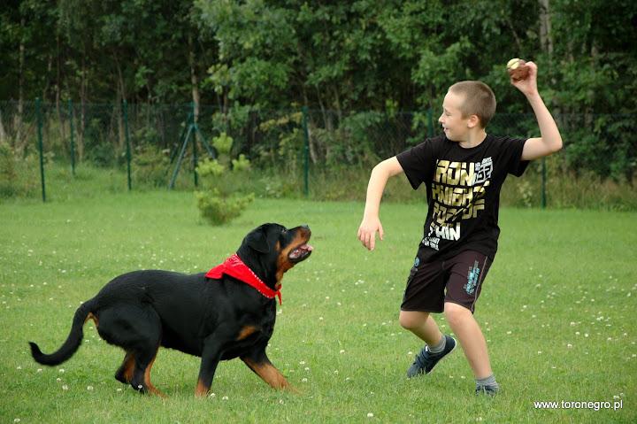 szybki rottweiler i dziecko