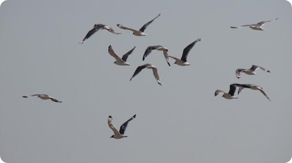 IMG_8559 Franklin's Gull Bird (10)