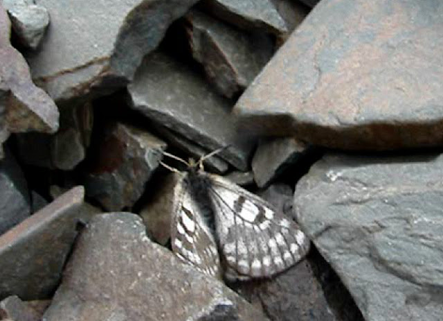 Parnassius (Tadumia) boedromius sokolovi KREUZBERG, 1989, Alabel Pass (3400 m), Kirghizie, 28 juin 2006. Photo : Emmanuel Zinszner