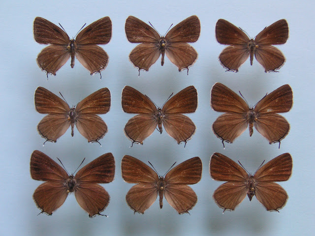 1, 2, 3 : Satyrium (Superflua) mirabilis ERSCHOFF, 1874   4, 5, 6, 8, 9 : Satyrium (Superflua) deria MOORE, 1865 7 : Satyrium (Superflua) khowari CHARMEUX, 2004 Photo : J.-F. Charmeux