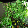 18 week cherry tomato - pruned off lots more fungus