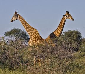 Giraffe Pair, South Africa