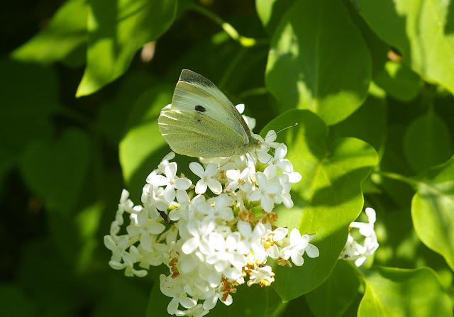 Pieris brassicae. Hautes-Lisières (Rouvres, 28), 21 avril 2011. Photo : J.-M. Gayman