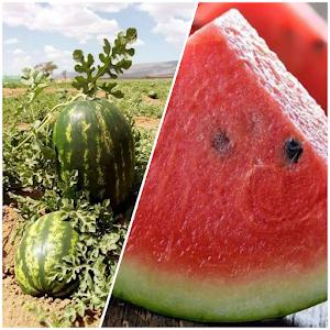 فوائد البطيخ الأحمر العديدة وأضراره بالنسبة للأشخاص الذين يعانون من الأمراض التالية