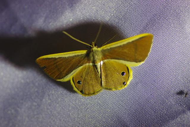 Ennominae : Opisthoxia bolivari  Oberthür, 1916. Santa María en Boyacá, 1120 m (Boyacá, Colombie), 2 novembre 2015. Photo : J.-M. Gayman
