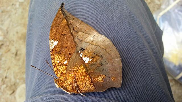 Coenophlebia (Anaea) archidona (Hewitson, 1860). Taipiplaya, 900 m (Yungas, Bolivie), 5 décembre 2014. Photo : Jan Flindt Christensen
