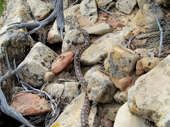 4' long gopher snake