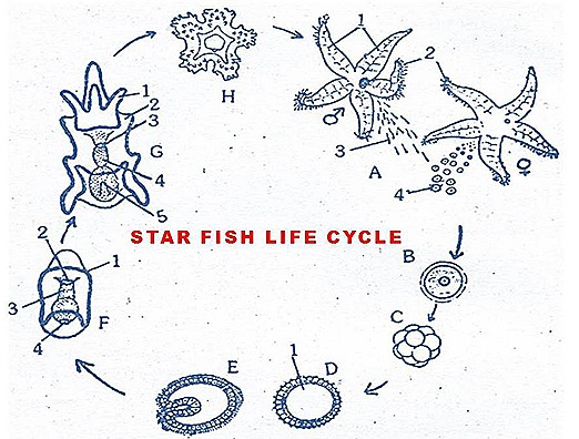 star fish-reproductive-system