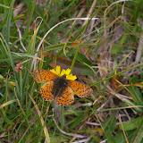 Boloria pales palustris FRUHSTORFER, 1909, mâle. Fouillouse, 2300 m (Alpes-de-Haute-Provence), 3 août 2009. Photo : J.-M. Gayman