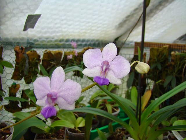 Phalaenopsis Siam Treasure DSC03416