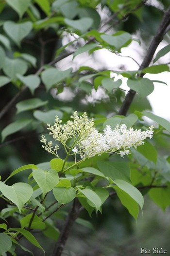 Japanese Tree Lilac Blooms