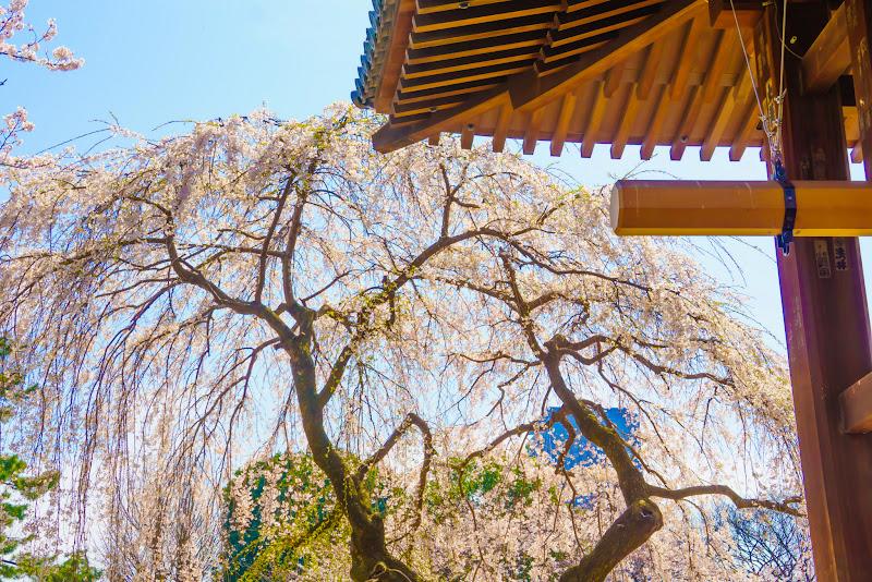 増上寺 桜 写真 11