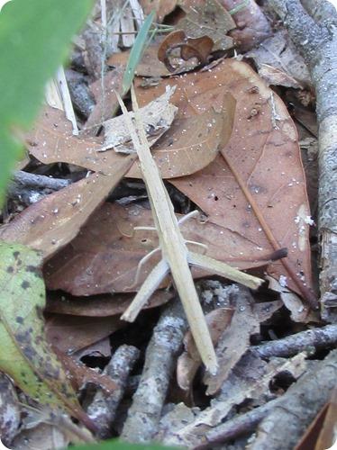 10 Long-headed Toothpick Grasshopper - Achurum carinatum