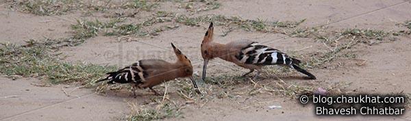 Eurasian Hoopoe - Upupa epops [Upupidae family]