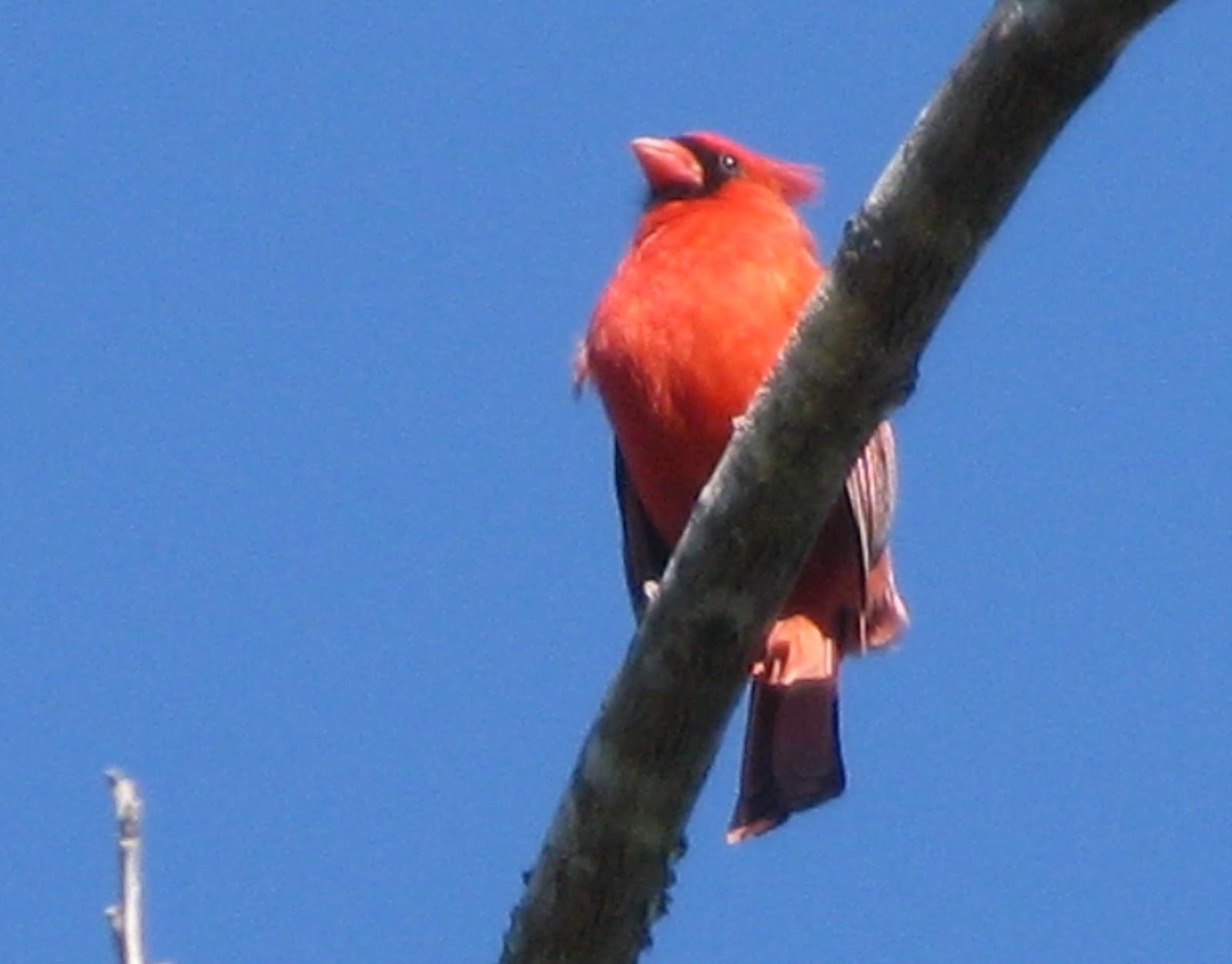 Cardinal at the Birding Station