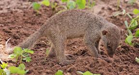Banded Mongoose Baby, Botswana