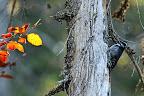 UN PIC EN AUTOMNE   Pic tridactyle dans une pessière en octobre