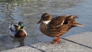 Mallards. Amsterdam. (c) copyright Shelley Banks, all rights reserved.