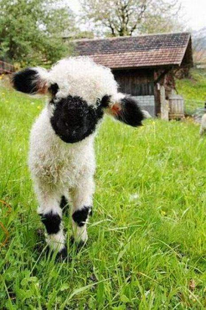 Baby Goat Pics Free Download