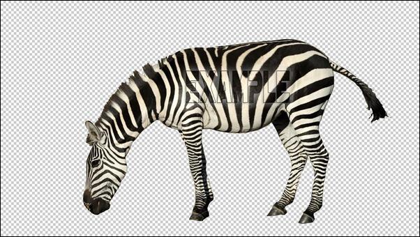 zebra-Example