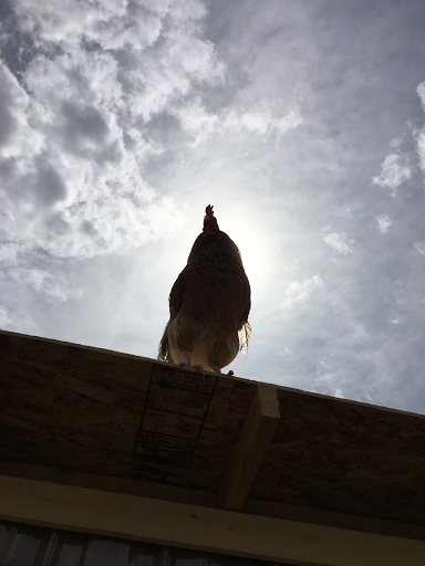 Rooster on patrol