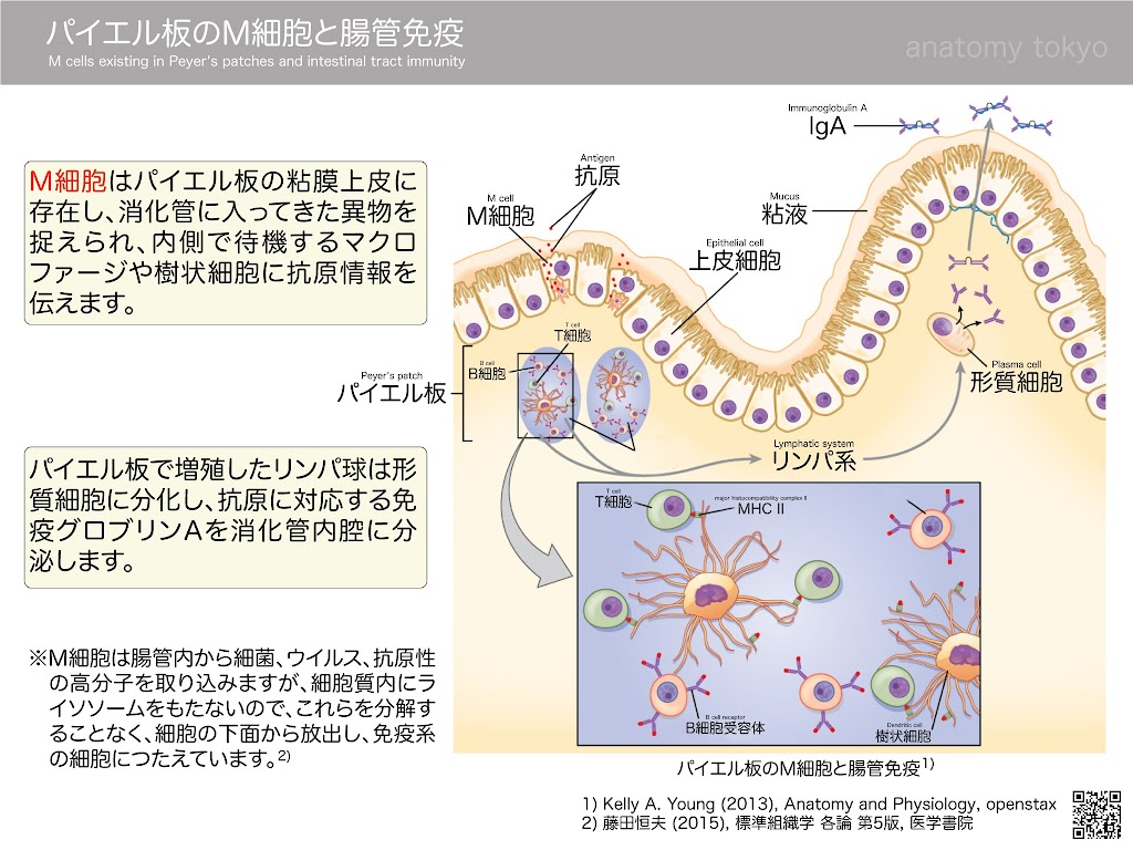 M-cells-existing-in-Peyer's-patches-and-intestinal-tract-immunity.jpg