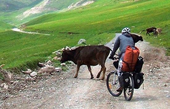 Kühe am Morgen im Tölök-Tal (Tolok, Толок, Тюлюк)