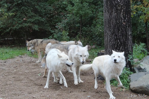 Artic Wolves stiring up mischief